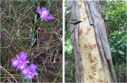 Common Fringed Lily and a scribbly gum...