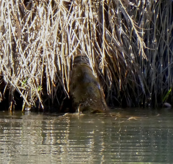 Platypus gathering reeds © Louise Creely
