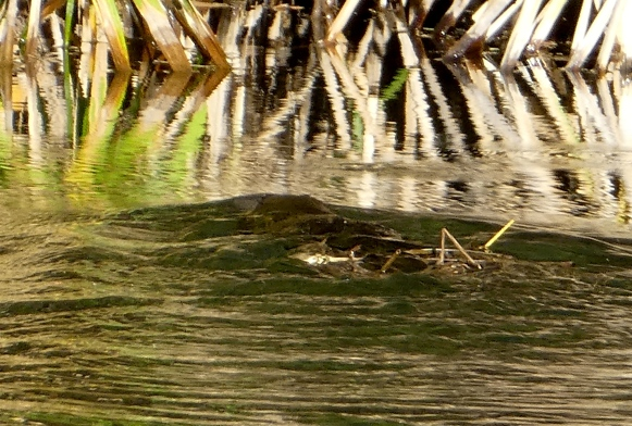 Platypus gathering nesting material © Louise Creely