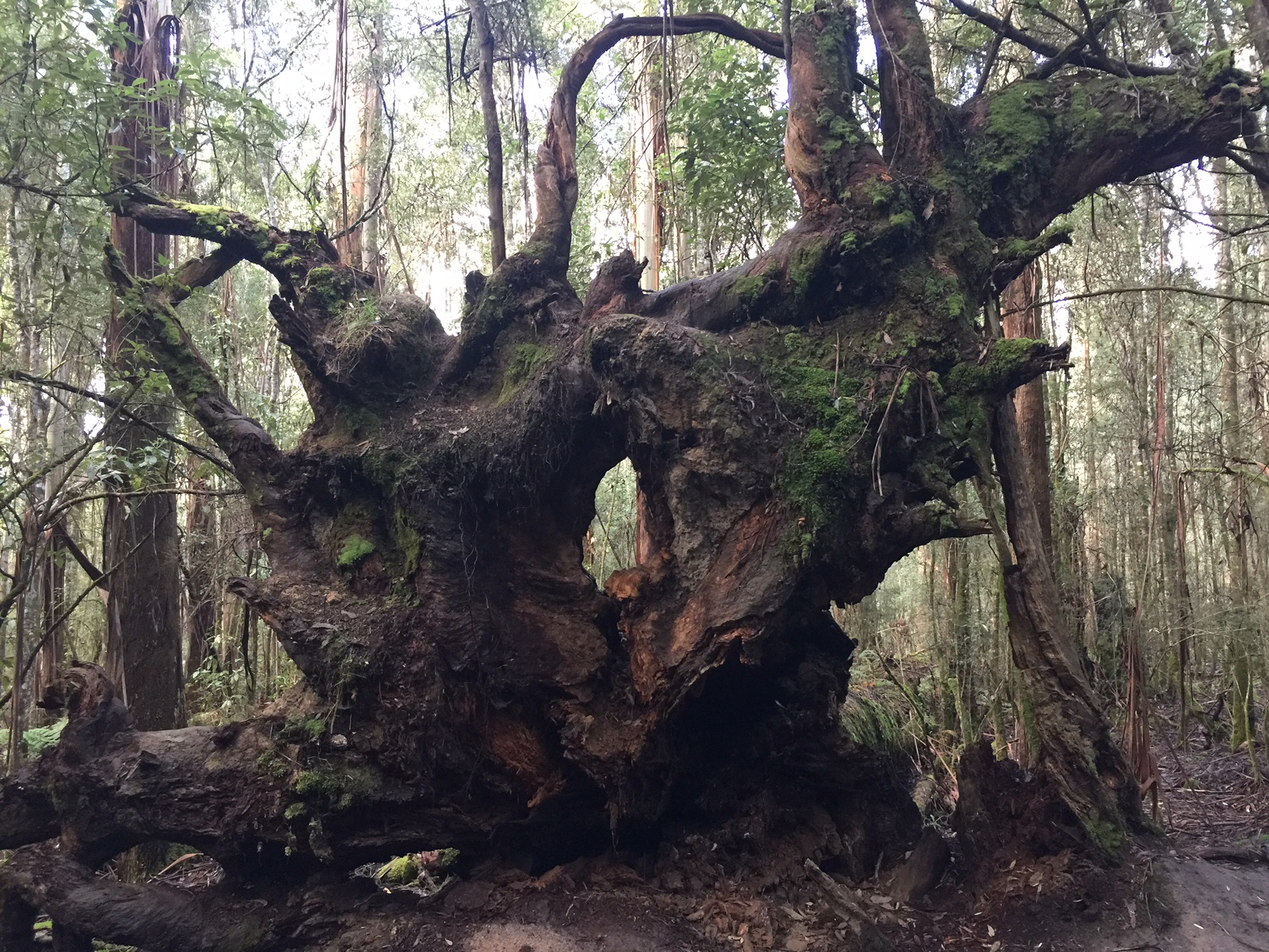 roots of a fallen tree © Louise Creely