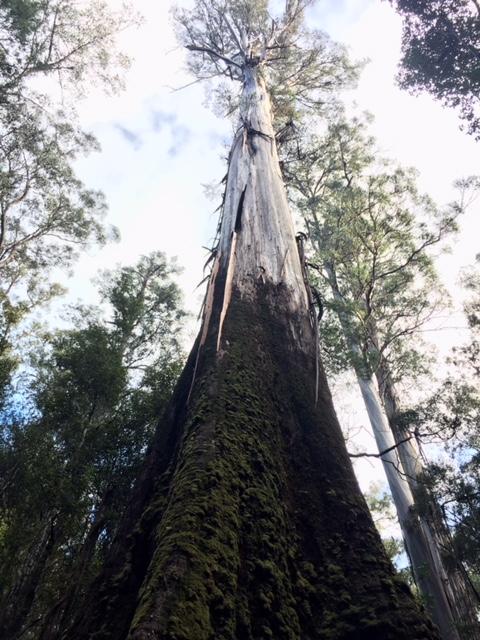 Tasmanian swamp gum
